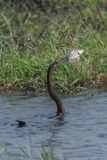 Un Anhinga africano che pesca appena un pesce nel fiume di Chobe immagine stock libera da diritti