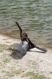 Un anhinga desséchant ses ailes images stock