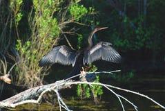 Un Anhinga que seca sus alas en el pantano fotografía de archivo