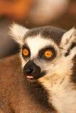 Un anillo ató prosimians de los lémures en el sol Fotos de archivo