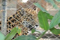 Un animal felino detrás de barras en parque zoológico fotos de archivo