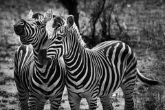 Un animale delle due zebre nella fine in su Fotografia Stock