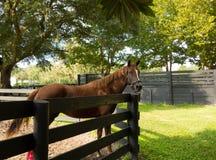 Un animale di un anno ad un'azienda agricola in Florida del Nord Fotografia Stock