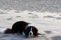Un animale domestico sulla sabbia bianca Fotografia Stock