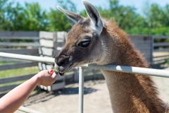 Un animale piacevole dell'alpaga mangia dagli ospiti dalle mani di alimento nello zoo Immagine Stock Libera da Diritti