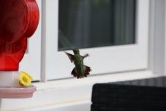 Un Anna& x27; colibr? di s che si avvicina ad un alimentatore rosso del colibr? immagini stock