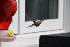 Un Anna' colibrì di s che si avvicina ad un alimentatore rosso del colibrì fotografia stock libera da diritti