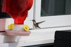 Un Anna' colibr? di s che si avvicina ad un alimentatore rosso del colibr? fotografia stock