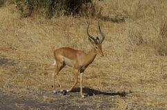 Un antílope o una gacela en África Fotos de archivo libres de regalías