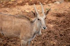 Un antílope, un tipo de mamífero, asemejándose a una cabra El varón y el femeninos tienen cuernos, rayas grisáceo-amarillas, marr fotos de archivo libres de regalías