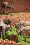 Un ant?lope, un tipo de mam?fero, asemej?ndose a una cabra El var?n y el femeninos tienen cuernos, rayas gris?ceo-amarillas, marr fotos de archivo