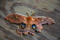 Un antheraea pernyi del lepidottero di seta di polyphemus Fotografie Stock