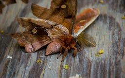 Un antheraea pernyi del lepidottero di seta di polyphemus Fotografia Stock Libera da Diritti