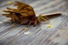 Un antheraea pernyi del lepidottero di seta di polyphemus Immagine Stock Libera da Diritti