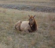 Un'antilope che si trova in un campo nel Canada del Nord Fotografia Stock Libera da Diritti