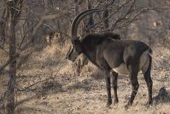 Un'antilope di nero nel cespuglio immagini stock libere da diritti