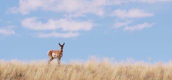 Un'antilope di pronghorn del Wyoming Fotografia Stock Libera da Diritti