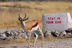 Un'antilope saltante Immagine Stock Libera da Diritti