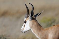 Un'antilope saltante ben illuminata alla luce solare namibiana nel parco nazionale di Etosha, Africa fotografie stock
