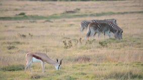 Un'antilope saltante sola pasce in un campo con due zebre video d archivio