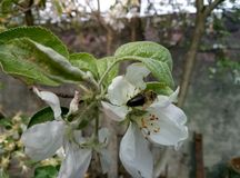 Un'ape è un insetto di raccolta immagini stock