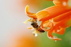 Un ape che raccoglie nettare Fotografia Stock Libera da Diritti