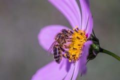 Un'ape che si siede su un fiore blu Fotografia Stock