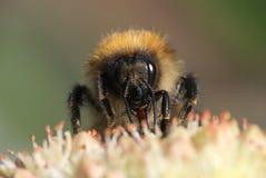 Un'ape del miele che raccoglie nettare Fotografia Stock