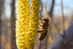 Un'ape del miele raccoglie il polline sui fiori della nocciola immagine stock