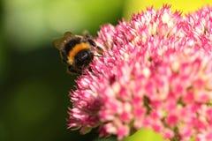 Un ape di bumble. Fotografia Stock