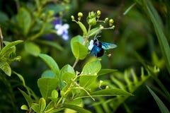 Un'ape di carpentiere viola sta succhiando il fiore L'ape di carpentiere viola è inoltre Xylocopa di chiamata fotografia stock