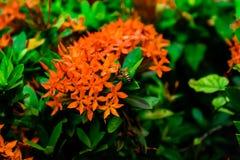 Un'ape e un fiore rosso Fotografie Stock Libere da Diritti