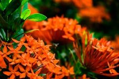 Un'ape e un fiore rosso Fotografia Stock