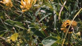 Un'ape grassa impollina un fiore giallo archivi video