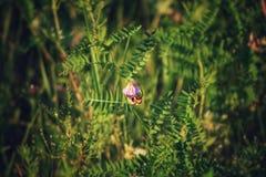 Un'ape impollina un fiore Immagine Stock