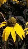 Un'ape mellifica impollina del fiore giallo immagini stock libere da diritti