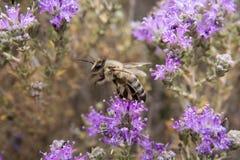 Un'ape mellifica su timo selvaggio Fotografia Stock