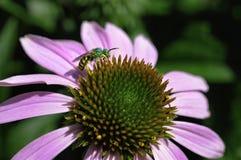 Un'ape metallica verde si alimenta un echinacea purpurea, o il coneflower porpora fotografia stock libera da diritti