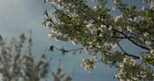 Un'ape raccoglie il nettare e i polinates un fiore bianco su un albero Movimento lento sparato con il contesto del cielo blu stock footage