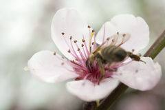 Un'ape raccoglie il polline da un fiore rosa della pesca Fotografia Stock