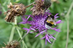 Un'ape selvaggia su una passeggiata del fiore fotografie stock