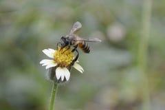 Un'ape sta raccogliendo il miele immagine stock