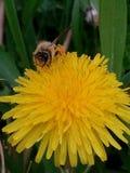 Un'ape su un dente di leone fotografie stock libere da diritti
