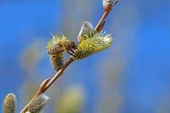 Un'ape su un gattino sbocciante della palma Fotografia Stock