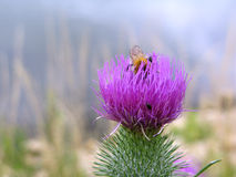 Un ape su un cardo selvatico Fotografia Stock Libera da Diritti