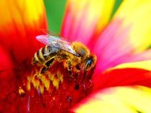 Un ape su un fiore Fotografia Stock