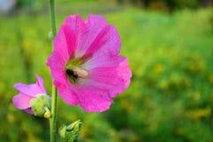 Un ape su un fiore Immagine Stock Libera da Diritti
