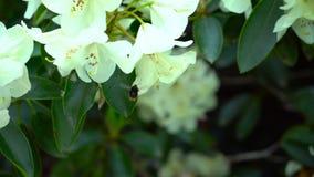 Un'ape su un fiore bianco del rododendro Correzione di colore archivi video