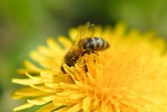 Un ape su un fiore del dente di leone immagini stock