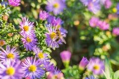 Un'ape sugli aster lilla Immagine Stock
